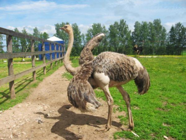 Страусиная ферма «Львиный страус»
